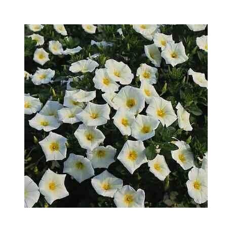Graines Convolvulus tricolor blanc (Belle de jour)