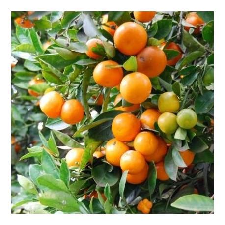 Graines Citrus Mitis (Calamondin, oranger nain)