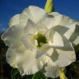 Graines Adenium Obesum 'Whitehouse' (Rose du désert)