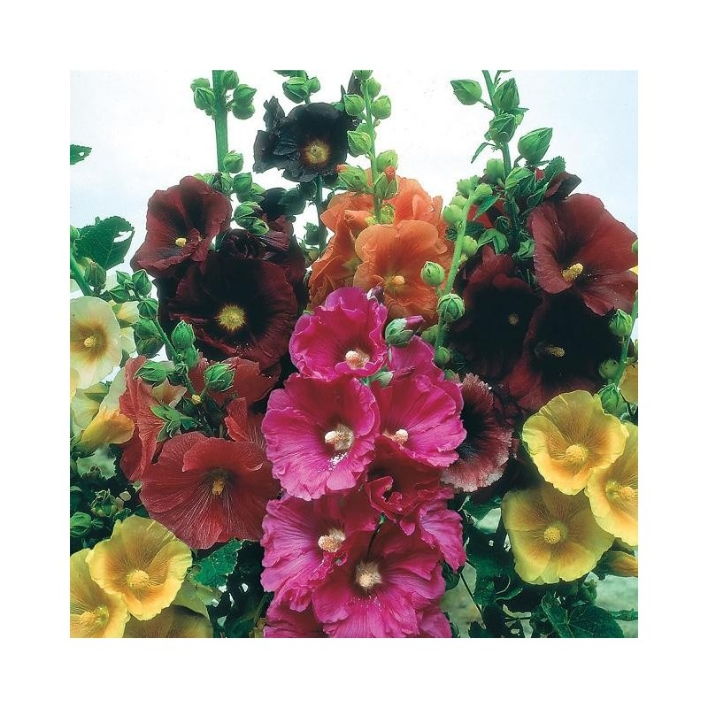 Graines alcea rosea mix rose tr mi re - Graine rose tremiere ...