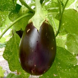 Graines aubergine 'Black Beauty'