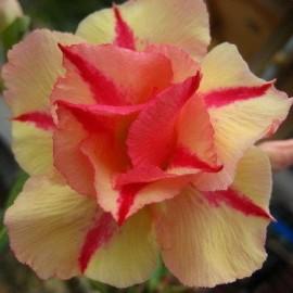 Graines Adenium Obesum 'Jarunthong' (Rose du désert)