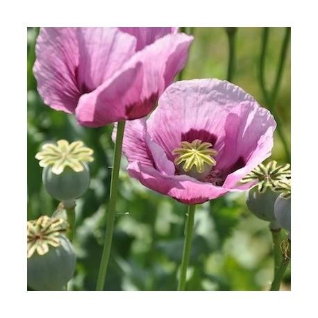 Graines Papaver somniferum 'Persian Blue' (Pavot à opium)