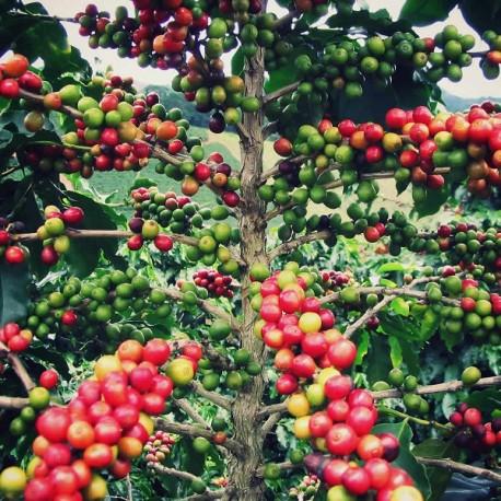 Graines Coffea Arabica (Caféier d'Arabie)