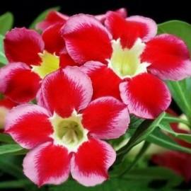Graines Adenium Obesum 'Santa Clause' (Rose du désert)