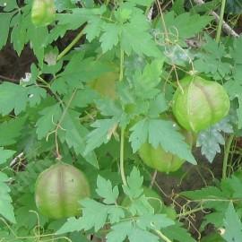 Graines Cardiospermum halicacabum (Pois de coeur, Graine de coeur)