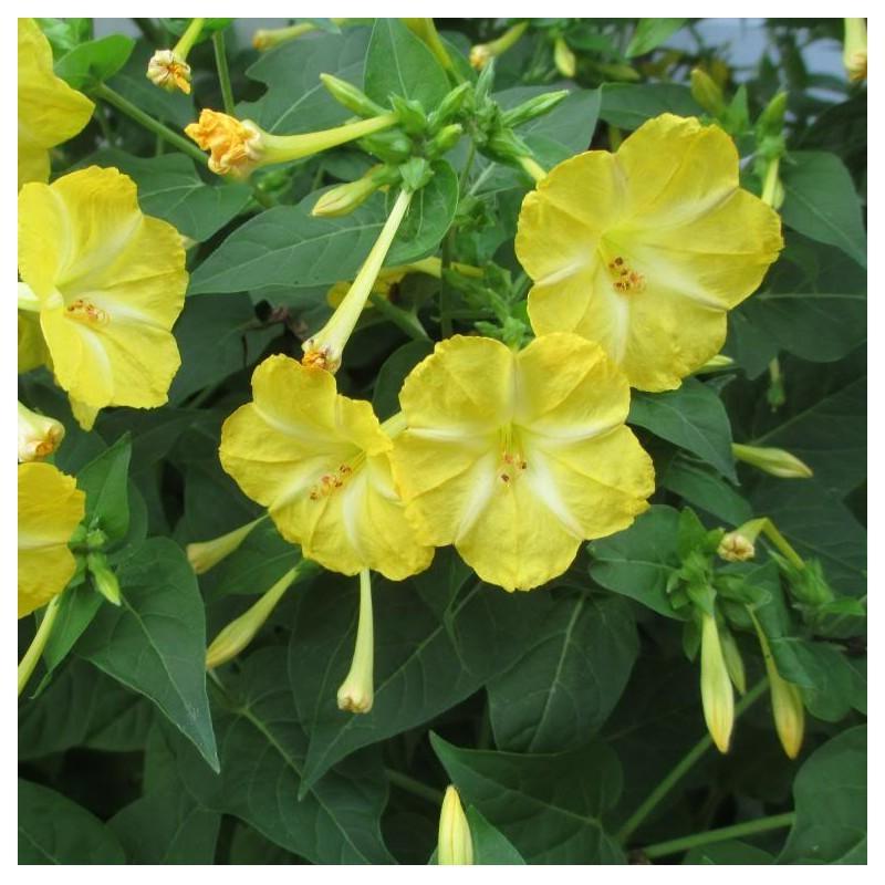 Graines mirabilis jalapa jaune belle de nuit - Belle de nuit plante ...