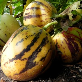 Graines Poire-Melon (Pépino)