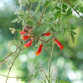 Eccremocarpus (Bignone du chili)