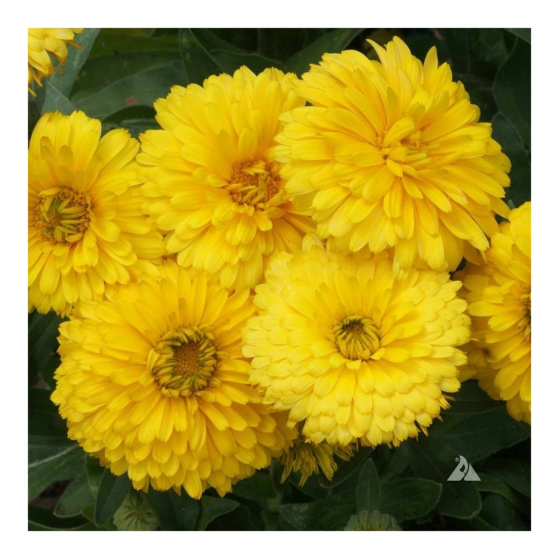 graines calendula officinalis 39 bon bon yellow 39 souci jaune. Black Bedroom Furniture Sets. Home Design Ideas