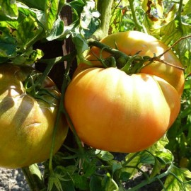 Graines Tomate jaune 'Dixie'