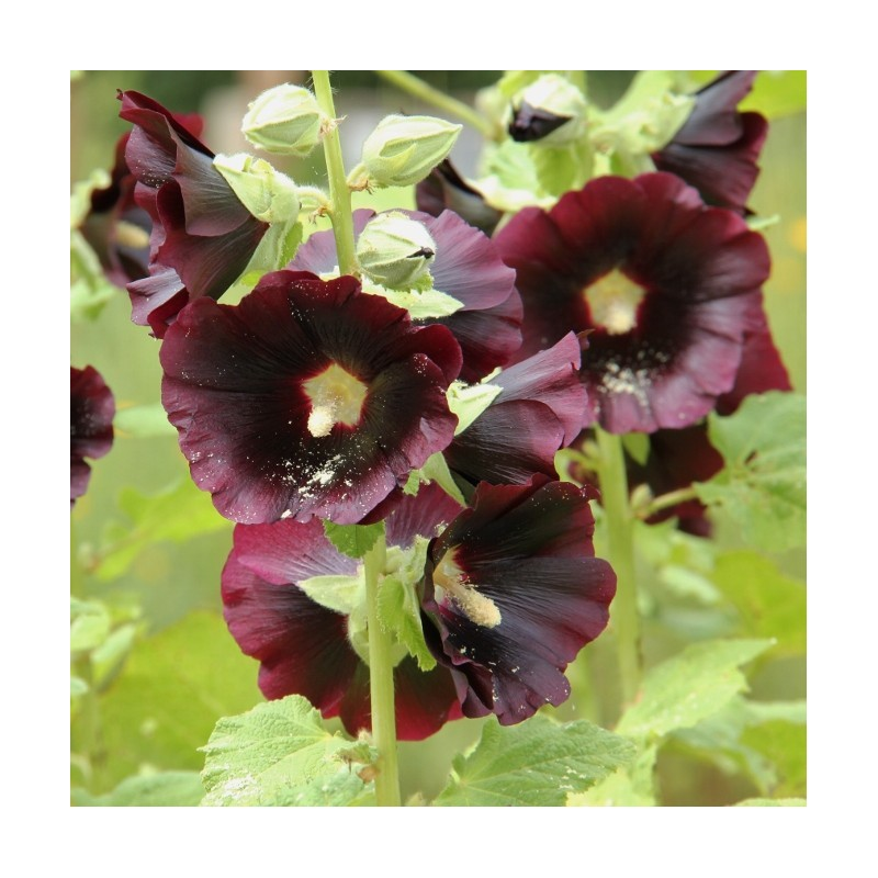Graines alcea rosea nigra rose tr mi re noire - Graine rose tremiere ...