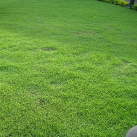 graines de zoysia japonica zenith