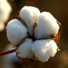 Graines Gossypium hirsutum (Cotonnier)