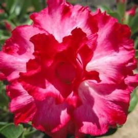 Graines Adenium Obesum 'Sastee ' (Rose du désert)