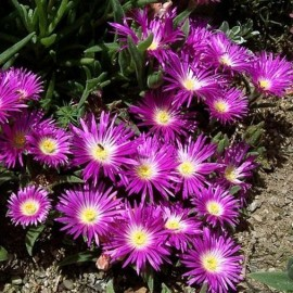 Delosperma (Ice Plant) floribunda Starburst