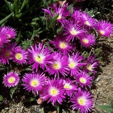 Graines Delosperma floribunda 'Starburst' (Ficoïde)
