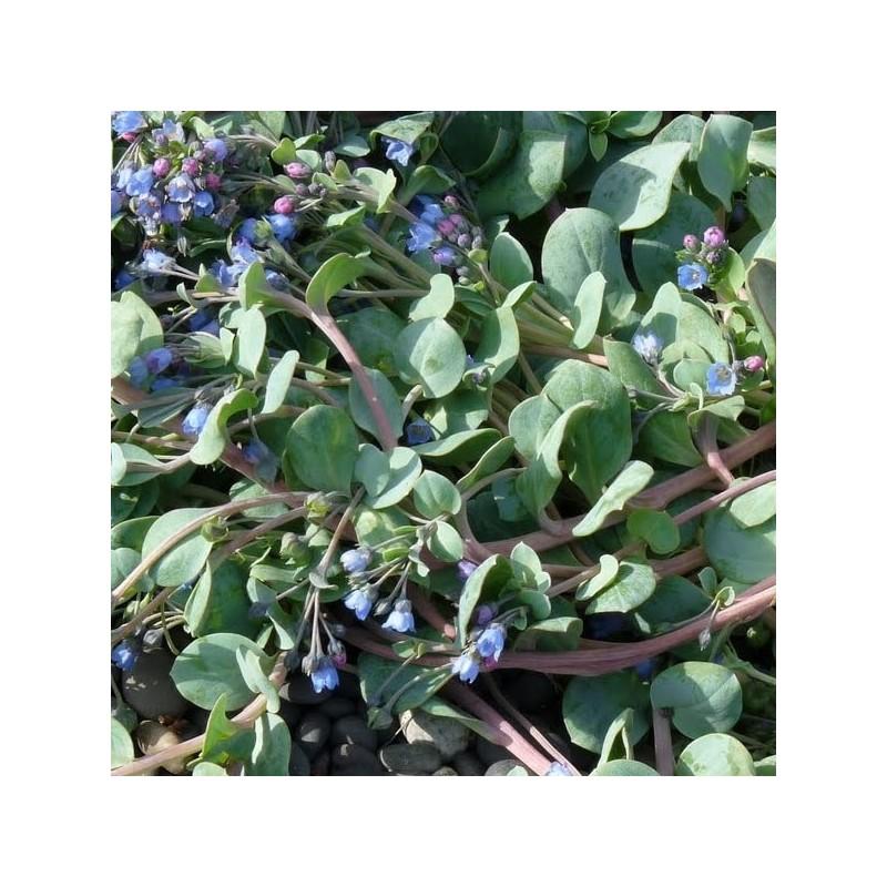 Graine de mertensia maritima huitre v g tale plante huitre for Plante vegetal