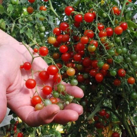 Tomate Petit moineau rouge (Tomate groseille)