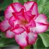 Graines Adenium Obesum 'Tapnimet' (Rose du désert)