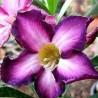 Graines Adenium Obesum 'Ultraviolet' (Rose du désert)