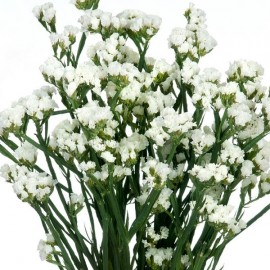 Limonium sinuata blanc (Statice blanc)