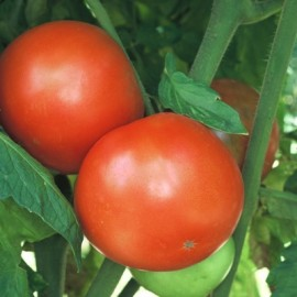 Tomate Homestead (tomate ancienne)