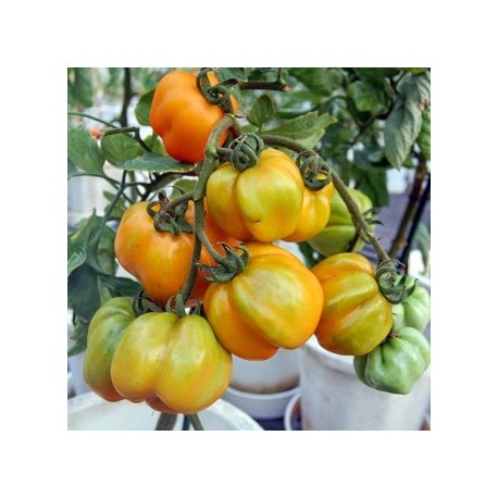Tomate Yellow Stuffer (tomate poivron)
