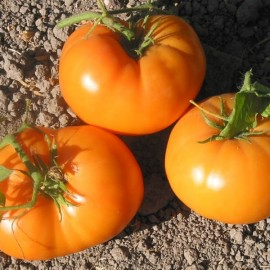 Tomate Dr Wyche's Yellow