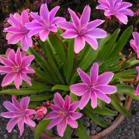 Graines Lewisia longipetala 'Little Plum'