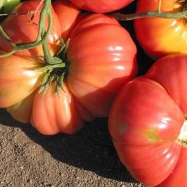 Tomate Dutchman (tomate ancienne)