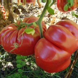Tomate Dutchman (tomate ancienne)