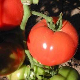 Tomate Rose de Berne (tomate ancienne)