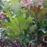 Chou Kale Red Russian