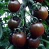 Tomate Black Opal (tomate cerise)