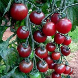 Tomate Rosella (tomate cerise)