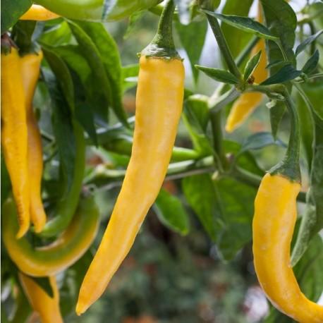 Piment De Cayenne Golden (Piment peu fort)