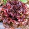 Laitue Red Ruby (Batavia)