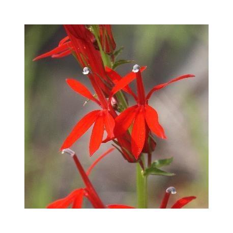 Graines Lobelia cardinalis (Lobelie du cardinal)