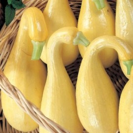 Courgette 'Early Summer Crookneck'