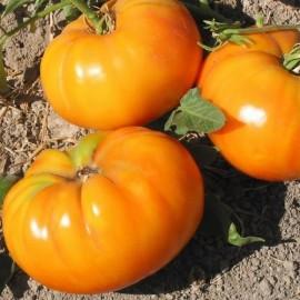 Tomate 'Amana Orange'