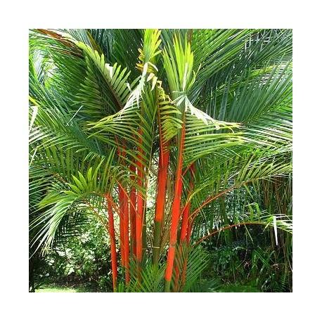 Graines Cyrtostachys renda (Palmier à tronc rouge)