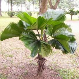 Licuala grandis (Palmier cuillère)