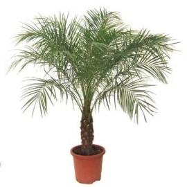 Phoenix roebelenii (Palmier dattier nain)