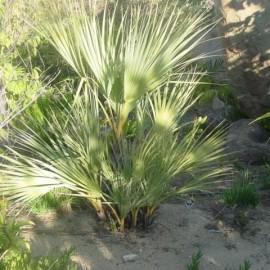 Nannorrhops ritchiana vert (Palmier Mazari green)