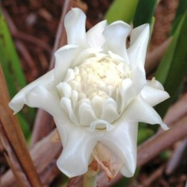 Etlingera Elatior blanc (Gingembre tropical Rose)