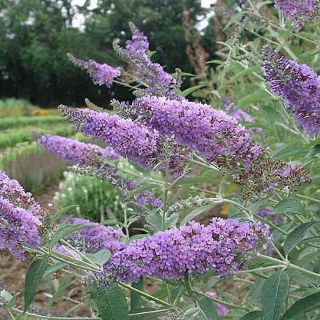 Graines Buddleia davidii Lilas (Arbre aux papillons)