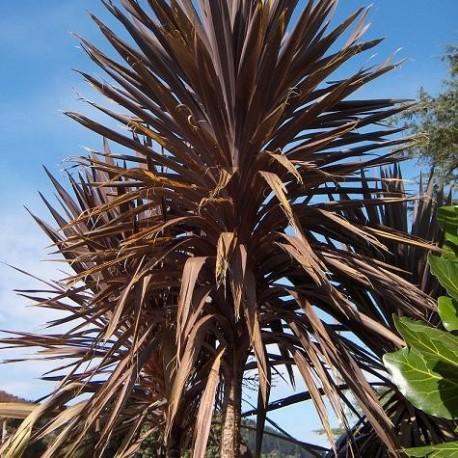 Graines Cordyline Australis Pourpre (Dracaena indivisa)