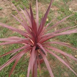 Cordyline Australis purpurea (Dracaena indivisa pourpre)