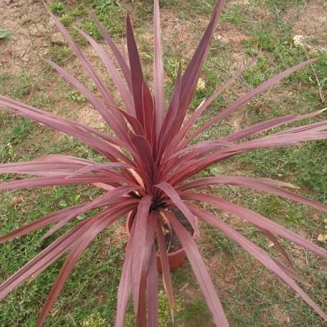 Graines palmier cordyline australis pourpre graines - Cordyline feuilles qui jaunissent ...